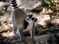 Fun Facts About Lemurs in Madagascar